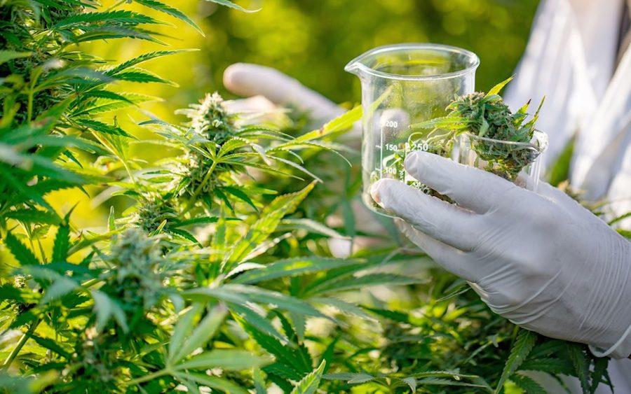 Gobierno francés permitirá uso de cannabis en tratamientos de pacientes con enfermedades graves para estudio
